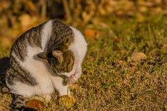 Katze, die seine Tatze im vorderen Baum säubert Stockfotografie
