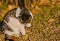 Katze, die seine Tatze im vorderen Baum säubert Lizenzfreie Stockfotos