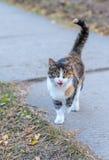 Katze, die an sich geht. Lizenzfreie Stockfotografie