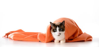 Katze, die unter Decke sich versteckt Stockbilder
