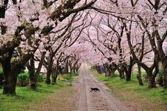Katze, die unter die Kirschblüte-Bäume geht Lizenzfreie Stockfotos