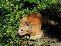 Katze, die Verstecken spielt Stockbild