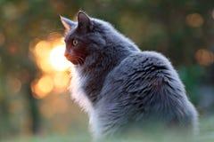Katze, die vorn den Sonnenuntergang wartet Stockbild