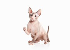 Katze Don-sphynx Kätzchen auf weißem Hintergrund Stockfotografie