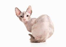Katze Don-sphynx Kätzchen auf weißem Hintergrund Stockfotos
