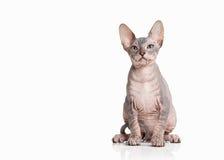 Katze Don-sphynx Kätzchen auf weißem Hintergrund Lizenzfreies Stockfoto