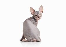 Katze Don-sphynx Kätzchen auf weißem Hintergrund Stockbild