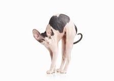 Katze Don-sphynx Kätzchen auf weißem Hintergrund Lizenzfreie Stockfotografie