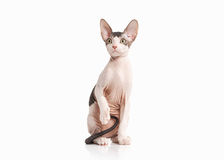 Katze Don-sphynx Kätzchen auf weißem Hintergrund Stockbilder
