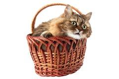 Katze in einem Weidenkorb Lizenzfreies Stockbild