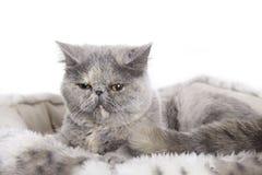 Katze, exotischer Perser Stockbild