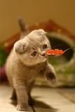 Katze-Feinschmecker lizenzfreie stockfotos