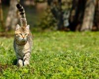Katze, Felis catus Lizenzfreie Stockfotografie
