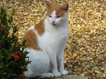 Katze (Felis catus) Lizenzfreie Stockfotos