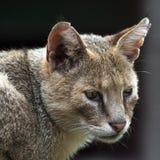 Katze (Felis chaus) Lizenzfreie Stockfotografie