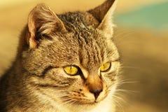 Katze.  (Felis silvestris catus) Stockfotos