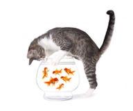 Katze-Fischen für Goldfische in einer Aquarium-Schüssel lizenzfreie stockfotografie