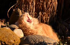 Katze gähnt bei Sonnenuntergang Stockfoto