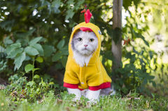 Katze gekleidet als Huhn im Garten Stockbilder