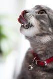 Katze geleckt Lizenzfreie Stockbilder