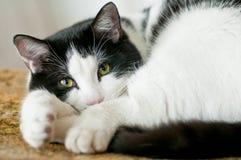 Katze gelegt auf einen Stuhl Lizenzfreies Stockfoto