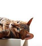 Katze getrennt auf weißem Hintergrund Lizenzfreie Stockbilder