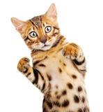 Katze getrennt auf weißem Hintergrund Stockfotografie