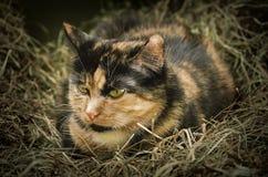 Katze im Heu Stockfoto