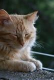 Katze im Ruhezustand Stockfotografie