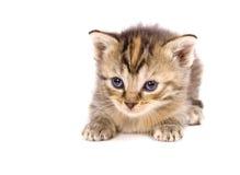Katze im Ruhezustand auf weißem Hintergrund stockfotografie