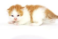 Katze im Studio Lizenzfreies Stockbild