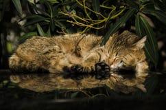 Katze im tiefen Schlaf Stockbild