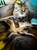 Katze im Wohnzimmer Stockfoto