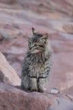 Katze Jordan Petra-getigerter Katze Lizenzfreie Stockbilder