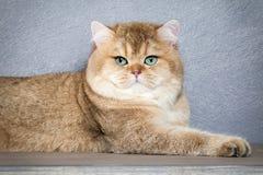 Katze Junges goldenes britisches Kätzchen auf grauem strukturiertem Hintergrund Stockfotos