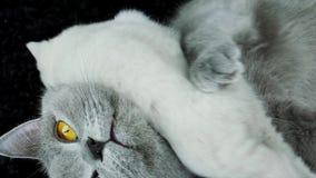 Katze kümmert sich um Kätzchen stock video footage