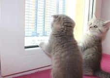 Katze, Katzen, Haustiere, schottische Falte, schottisches gerades lizenzfreie stockfotos