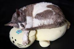 Katze kornisches rex, das auf Kissen speeping ist Stockfoto