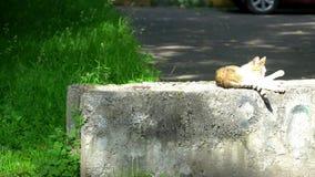 Katze leckt die Tatzen und liegt in der Sonne stock footage