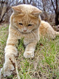 Katze Levik lizenzfreies stockbild