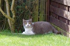 Katze liegt am Rand eines Rasens und blickt in Richtung der Kamera Stockfoto