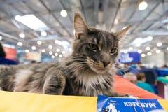 Katze Maine Coon an der internationalen Ausstellung Ketsburg in Moskau Stockbilder