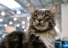 Katze Maine Coon an der internationalen Ausstellung Ketsburg in Moskau Lizenzfreie Stockfotografie