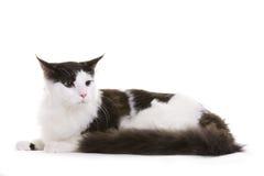 Katze, Maine-Waschbär Lizenzfreie Stockfotografie