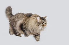 Katze mit ausgezeichnetem grauem Pelz Lizenzfreie Stockfotografie