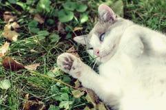 Katze mit blauen Augen Stockbild