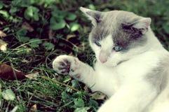 Katze mit blauen Augen Stockfotografie