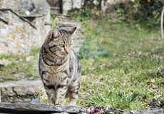 Katze mit dem Anpirschen der grünen Augen Stockfotos