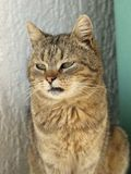 Katze mit dem Sitzen der grünen Augen Lizenzfreies Stockbild