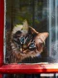 Katze mit den blauen Augen, die heraus schauen stockfotografie